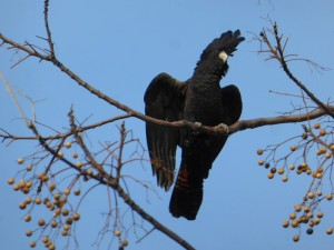 Black cockatoo, one of the most enigmatic birds of the bush.